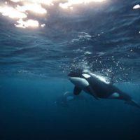 Океанолог Жан-Мишель Кусто приедет в Россию спасать касаток из «китовой тюрьмы»