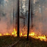 Животные выходят к людям за помощью из охваченной огнем тайги