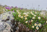 В Арктике расцвели ромашки и одуванчики