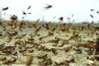 Стаи голодной саранчи атакуют страны Восточной Африки
