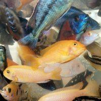 Россельхознадзор отменил ограничения на ввоз живой рыбы из Китая