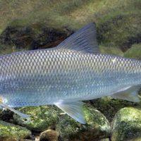 Кутум — перспективный объект аквакультуры