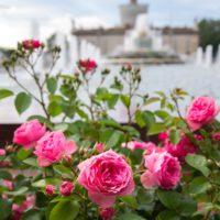 Розы флорибунда «сатчмо», «принц монако»… зацвели на ВДНХ