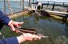 В водоемы Дагестана выпущено 0,5 млн экземпляров молоди осетровых
