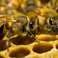 В Новосибирской области произошла массовая гибель пчел