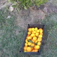 Сбор мандаринов к Новому году в саду. В Сочи открылся филиал биостанции «Маринино»