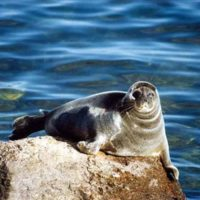 Чиновники предлагают бороться с нерпами, а не с загрязнением Байкала и браконьерством