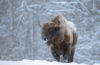 На фоне морозов северные зубры потянулись к людям
