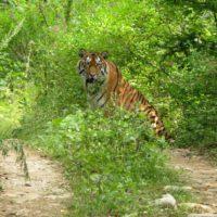 Тигр-новичок вышел навстречу сотруднику Сихотэ-Алинского заповедника