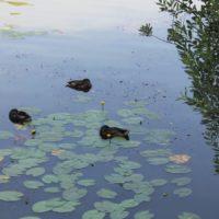 Танец маленьких утят: более 1 000 птенцов водоплавающих птиц появилось летом на природных территориях Москвы