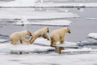 Аномальные льды на Чукотке оказались благом для белых медведей и Медвежьих патрулей